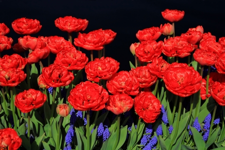 Red tulips above, and grape hyacinth below making a great color combination.