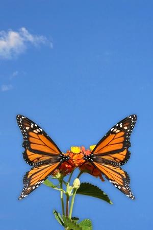 donna farfalla: Due farfalle Monarch di fronte all'altro e alit su uno sfondo fiore di cielo azzurro con qualche nuvola di piccole fatto in stile grande ritratto di un biglietto di auguri o