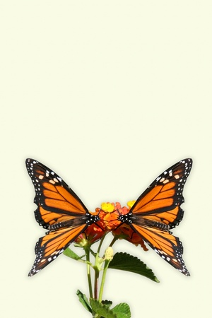 Two Monarch butterflys facing each other and alit on a flower  Butterflys isolated with a cream colored background  photo