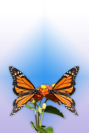 good feeling: Two Monarch butterflys facing each other and alit on a flower Done in portrait style with purples and blues to give it a good feeling  Great for a greeting card  Or  Stock Photo