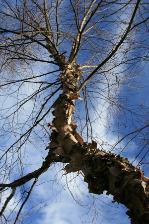 bark peeling from tree: Portrait style Photo of Heritage River Birch tree looking skyward  No leaves as this is a winter time photo, but a great view of the trees naturally peeling bark with blue sky and clouds above