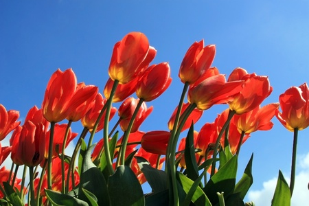 skagit: View of red colored tulips looking from ground level so as to show the under side of the flowers with blue sky as the background  Taken in skagit valley washington