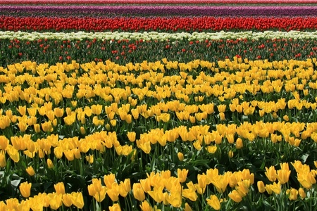 two and two thirds: Rows of various colored tulips running horizontal in landscape format The first color seen is yellow in the foreground and takes up aprox  two thirds of photo