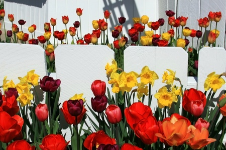 Red yellow and maroon colored tulips in foreground along white picket fence, then further rows of tulips over and on other side of fence  Landscape style photo with fence running horizontally  photo