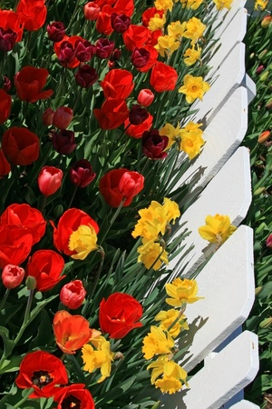 Red yellow and maroon colored tulips in foreground along white picket fence, then further rows of tulips over and on other side of fence  Fence runs verticaly along the left side in this portrait style photo  photo