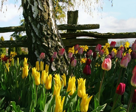 split rail: Yellow,pink and red colored tulips along with yellow daffodils in the foreground  Behind the flowers, a large birch tree shades the bed of flowers and a split rail fence runs horizontally behind the birch tree