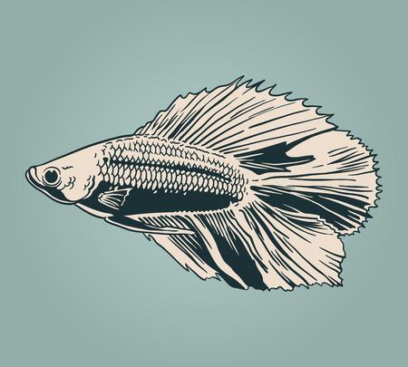 betta: Vector vintage illustration of  little veil fish
