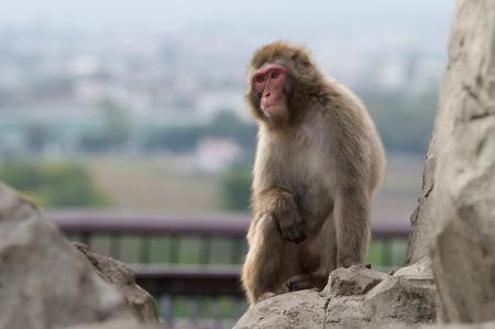macaque: japanis macaque