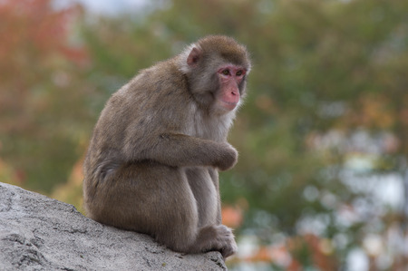 japanis macaque