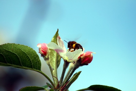 blossom of an apple tree with bees photo