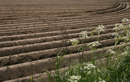 field with potato plants Stock Photo - 13637544