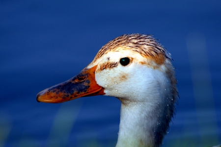 Very nice ducks head posing in the water. Stock Photo - 13913975