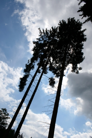 Pine trees in the blue sky Stock Photo - 15095333