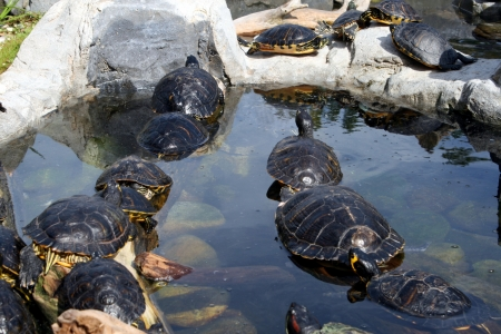 Cute terrapins in the water Stock Photo