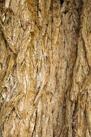 rough surface bark of willow Stock Photo - 20671440