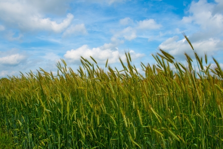 Grain field under a blue sky with clouds Stock Photo