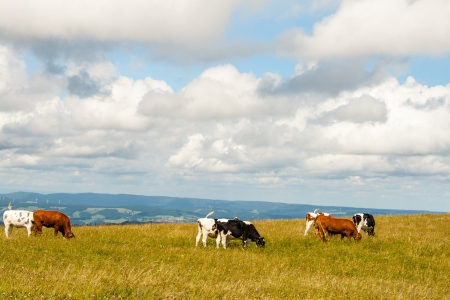 Cows on the Feldberg in Germany Black forest. photo