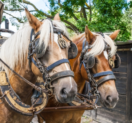 covered wagon: Through the flemish fields with horse and covered wagon