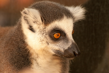 ring tailed: Ring tailed lemurs prosimians in the sun