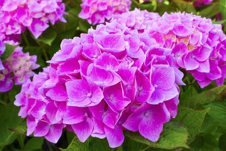 非常漂亮的粉红色八仙花属盛开