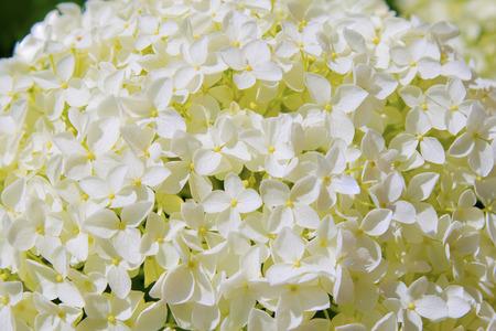 beautiful white hydrangea flowers annabelle in bloom photo