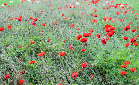 Poppy or poppies world war one in belgium flanders fields