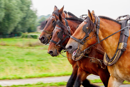 Three horses pulling a yoke and running photo