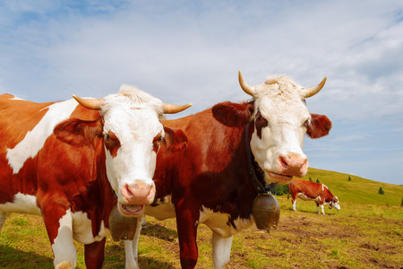 Two brown mountain cows with bells and horns photo