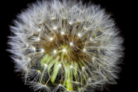 fluff: fluff of a dandelion in close up