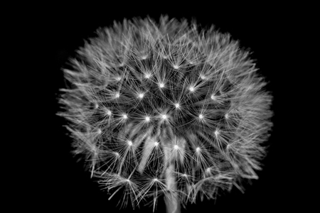 fluff of a dandelion in close up