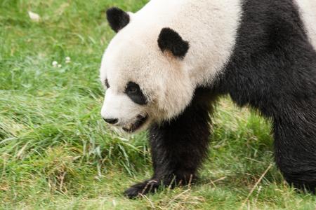 panda in the wild endangered species