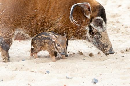 African swine with piglet Stok Fotoğraf