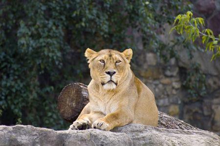 Female lion Stock Photo - 497842