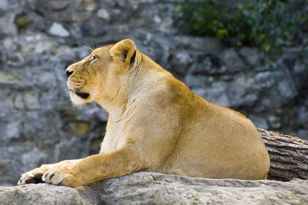 Female lion Stock Photo - 497898