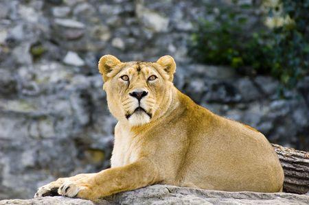 Female lion Stock Photo - 497897