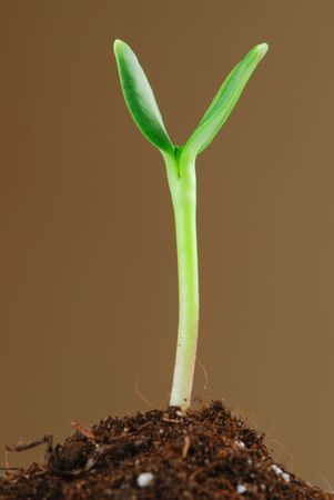 Sunflower sprout close up against brown background photo