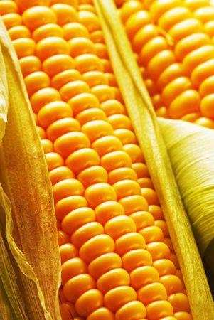 Freshly harvested corn, close up. Stock Photo - 3398955