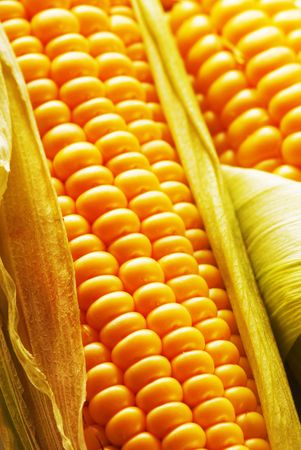 Freshly harvested corn, close up. Stock Photo - 3398955
