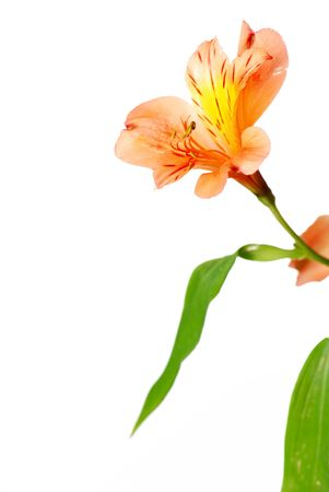 alstroemeria: Alstroemeria flower isolated on white Stock Photo
