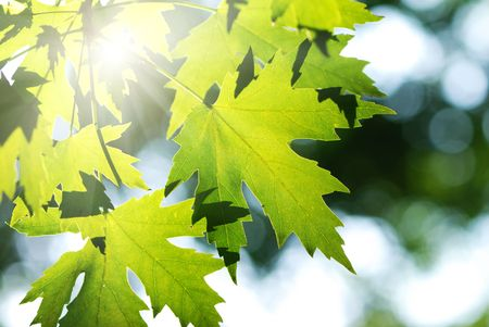 Green leaves background in sunlight photo