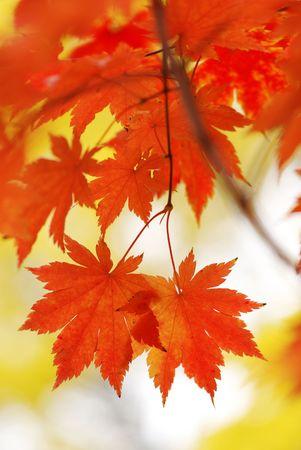 Autumn maple leaves in sunlight photo