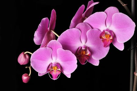 Pink Orchid Isolated on black Stock Photo