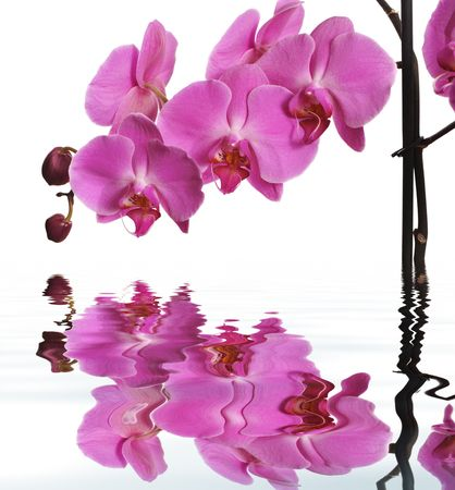 Pink Orchid Isolated on white. Reflection in water. photo
