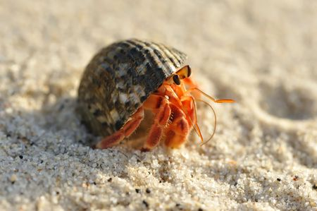 hermit: Hermit Crab on a beach in Andaman Sea