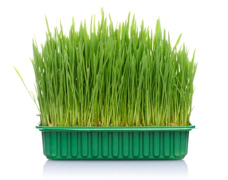 Green grass in flowerpot isolated on white background photo