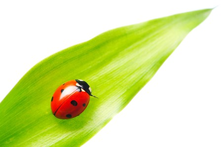 Ladybug on a leaf over white photo