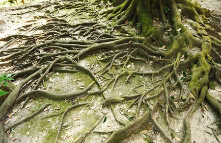 Root of the tree and moss photo