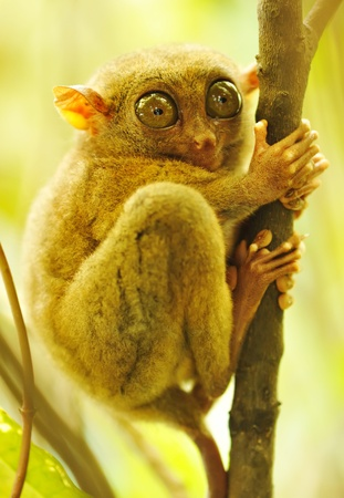 wildllife: Tarsier monkey in natural environment