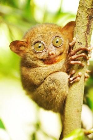rainforest animal: Tarsier monkey in natural environment