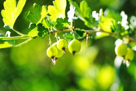 gooseberry bush: Green gooseberries on the branch